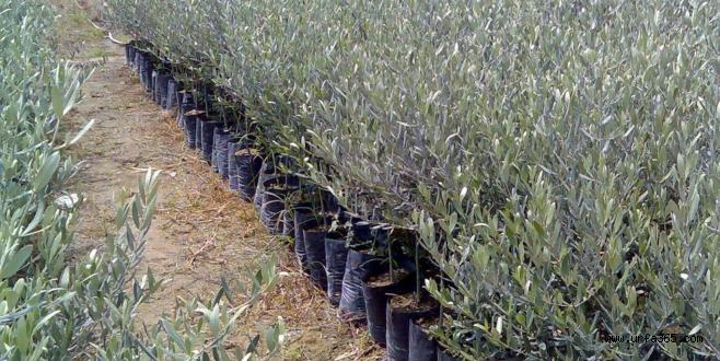 Gaziantep'te 500 Bin Adet Zeytin Fidanı Dağıtılacak